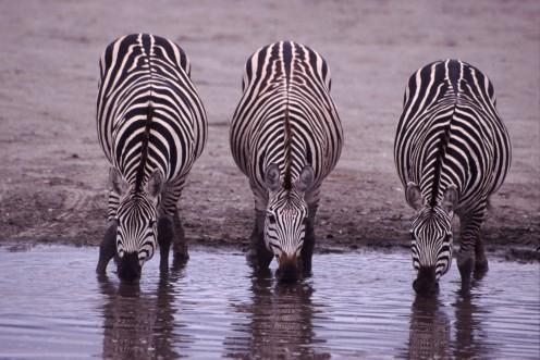 Three zebras drinking. Taken on safari in Tanzania.