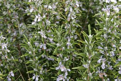 Natural Herbal Remedies, Rosemary