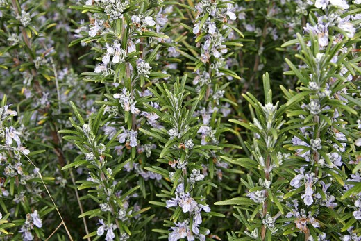 Rosemary is a member of the mint family and is used both for culinary and medicinal purposes.