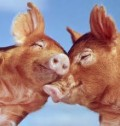 Funny Short Joke about Horny Pigs