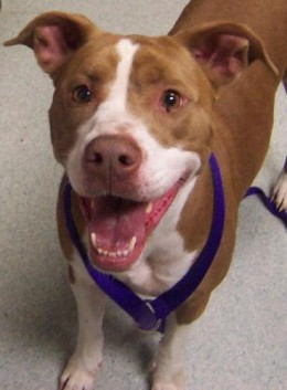 Peaches is a Pit Bull Terrier mix that is available for adoption in Spokane, WA