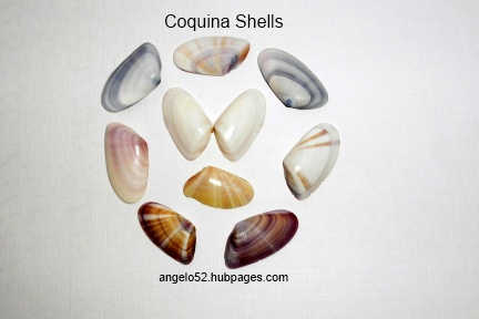 Collection of Coquina shells showing color, stripe and band variety.