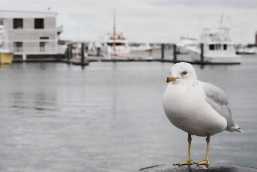 Ring-billed Gull (aka Seagull)