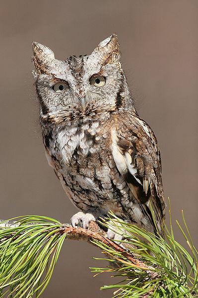 The Owl Spirit Guide Owl Mythology Exemplore