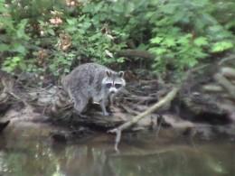 Florida Racoon