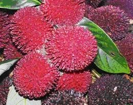 Pulasan fruit
