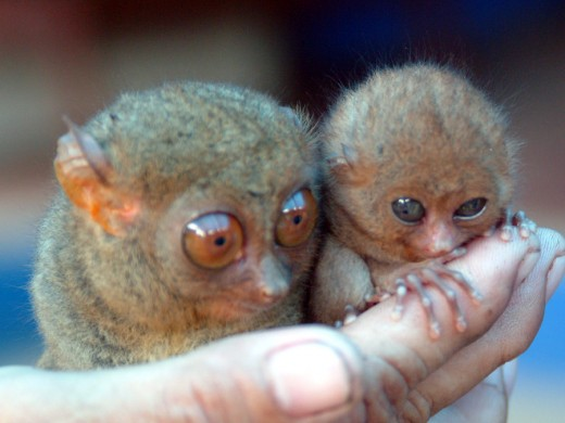Tarsiers considered being the smallest monkey in the world is being bred in captivity in Bohol, Philippines. Photographed here is the evidence that they are really well bred and been taken good care of.