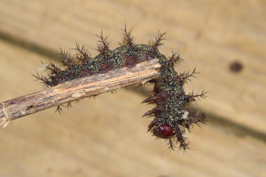 Buck Moth Black Caterpillar with a red face that has poison venom in its furry looking spines that STINGS
