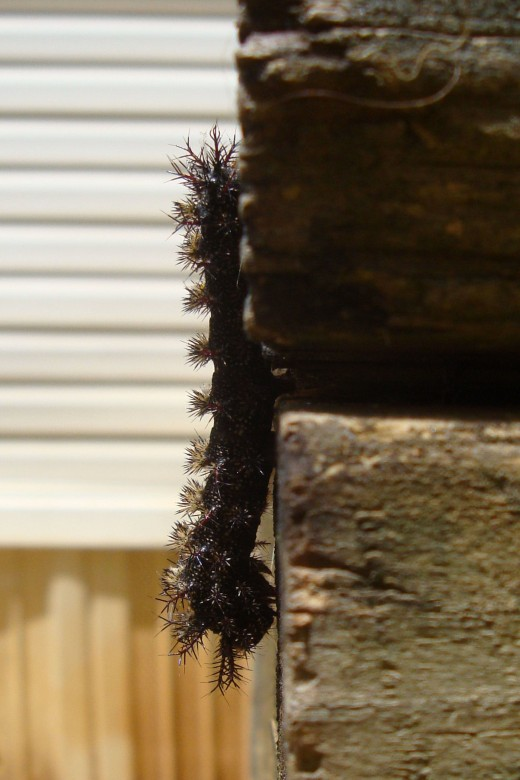Buck Moth Caterpillar is black with a red face that has poison venom in its furry looking spines that STING!