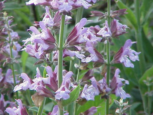 Sage Or Common Sage Used For Culinary And Medicinal Purposes Is Shown In The Photo Here.