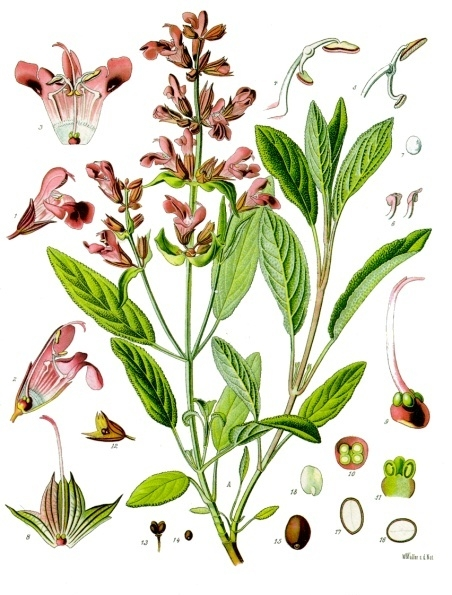 Painting from Koehler's Medicinal Plants (1887) in this photo of all parts of a Sage Plant.