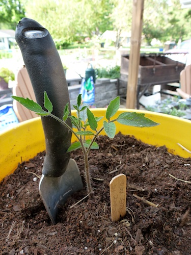 This 8 inch tall starter tomato is planted deep, leaving only the top 4 inches above ground.