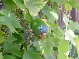 Charlie sitting on the grapevine in our garden eating grapes.