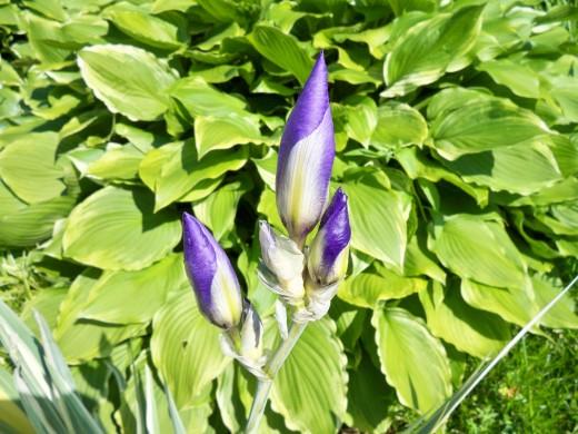 Regal Russian Iris Buds