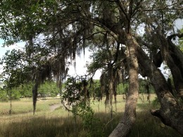 Spanish moss on live oak