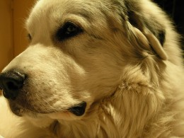 Great Pyrenees. Photo by nayrb7.