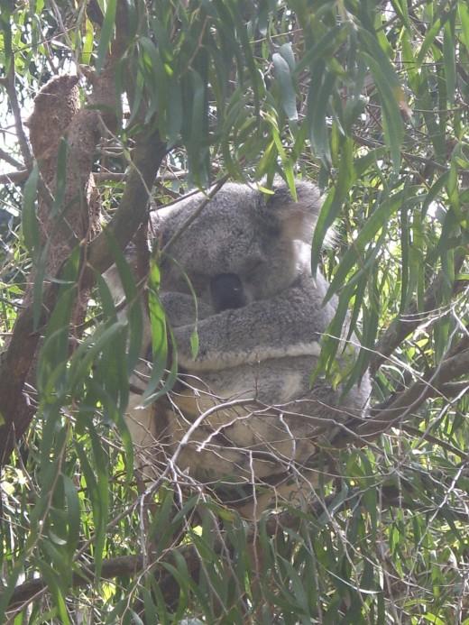 Koala at Perth Zoo, WA