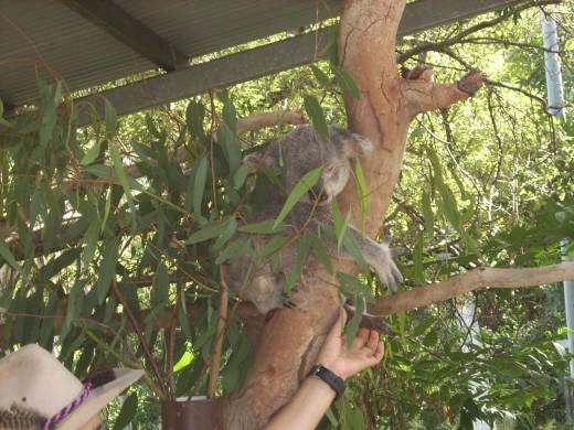 Koala at Bungalow Bay, Magnetic Island