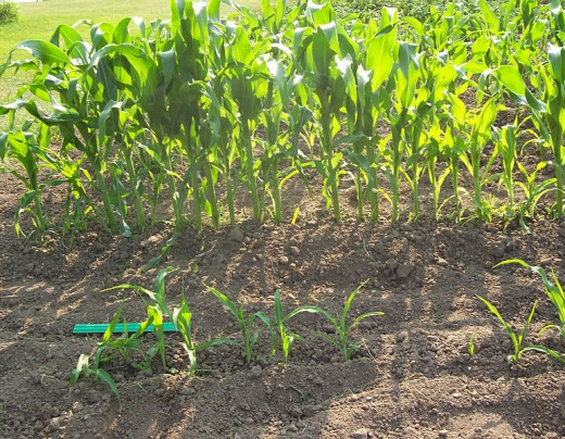 Young sweet corn patch