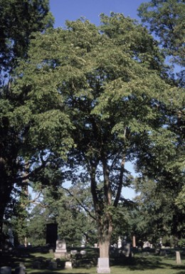 Photo Of The Slippery Elm Tree Native To The Eastern United States.