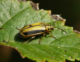 Photo Of The Elm Leaf Beetle Which Preys Upon Elm Tree's Of All Types.