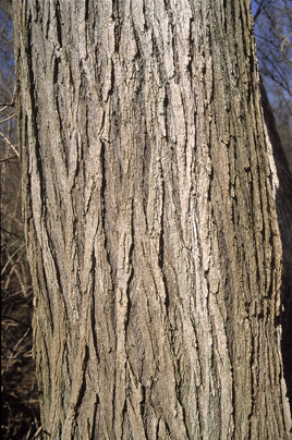 Photo Of The Mature Bark Of The Slippery Elm Tree.