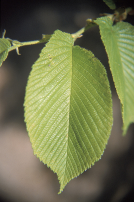 Photo Of The Leaf Of The Slippery Elm Tree.