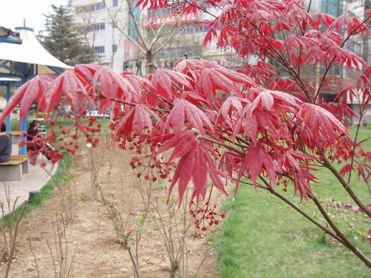 Bloodgood variety of the Japanese maple