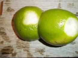 Cut Lime Bottom