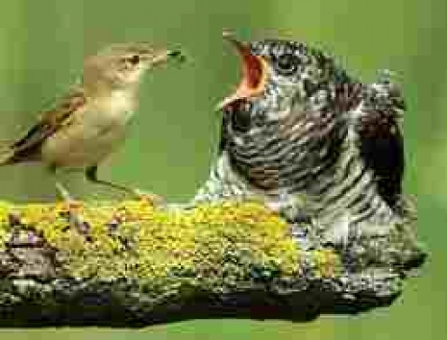 Young Cuckoo being fed by dimunitive host