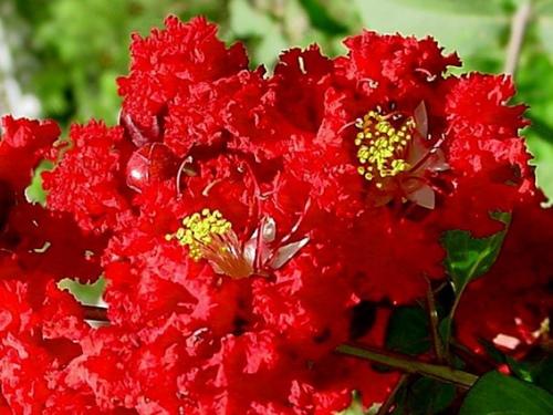 Banaba Flowers