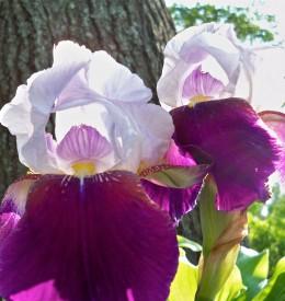Poetic Iris