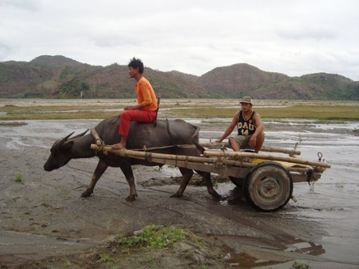 The farmer's best friend, the carabao heading to work on the field.