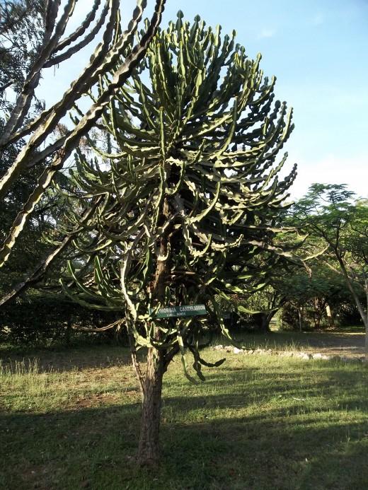 Euphobia candelabrum called Bondo in the Luo language