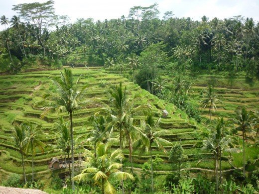 Rice terraces, Bali.