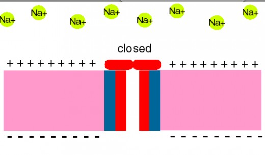 When the gate is closed, no sodium ions can enter the cell and begin depolarising it.