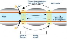 Diagram showing how an impulse is carried down an axon, jumping across the Nodes of Ranvier.