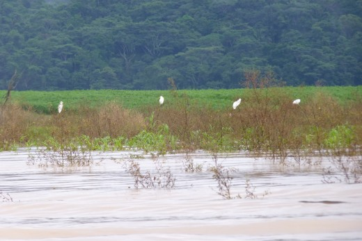 Egrets resting on the swollen river at the end of the rainy season.