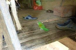 A pet budgie raoming free inside an open walled Embera house.