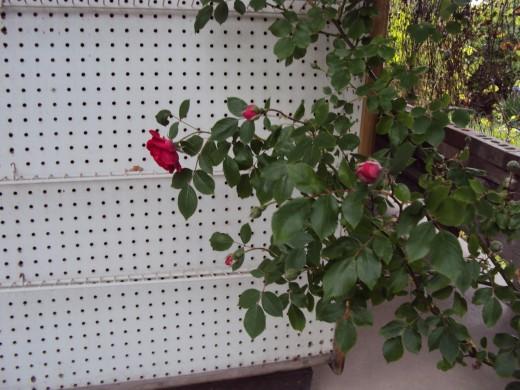 A new climbing rose.