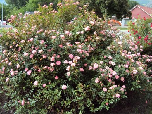 A tea rose variety.