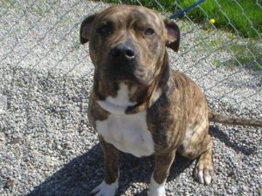 Odie, a Pit Bull Terrier ready for adoption in Post Falls, Idaho.