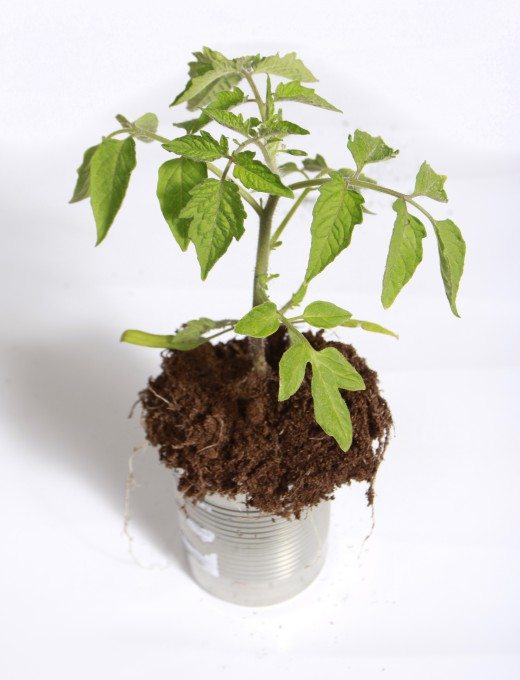 A tomato plant growing in fertile organic matter