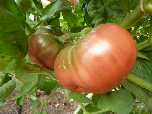 Stems are sturdier to support increased tomato production.