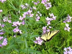 Yellow butterfly on Phlox flowers.  Photo taken in my backyard.