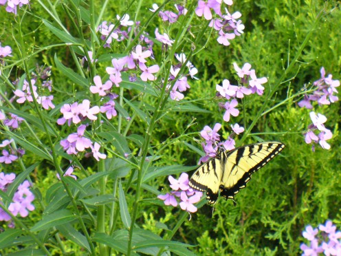 Yellow butterfly on Phlox flowers.  Photo taken in my backyard.