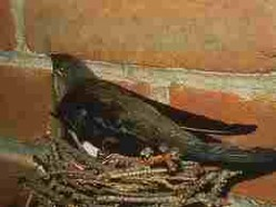 Swift on nest in a chimney