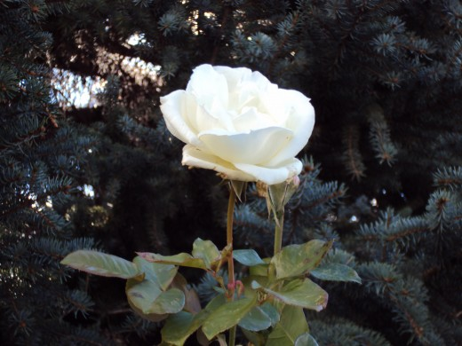 There seems something sacred about a white rose.