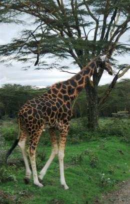 Giraffe in Africa game park