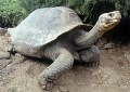 Lonesome George - Last Of The Pinta Island Tortoises - died in June 2012